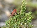 Common Rosefinch (Carpodacus erythrinus) (35670346091).jpg