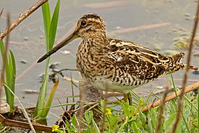Common Snipe (Gallinago gallinago) (26144727151).jpg