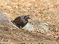 Common Starling (Sturnus vulgaris) (46254382822).jpg