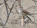 Common Whitethroat (Sylvia communis) (43950892780).jpg