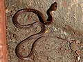 Common Wolf Snake Lycodon aulicus by Dr. Raju Kasambe DSCN7762 (18).jpg