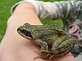 Common frog (15834577577).jpg