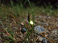 Common glow-worm.jpg