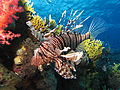 Common lionfish near Dunraven wreck.JPG