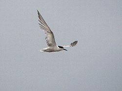 Common or White-cheeked Tern (15087380179).jpg