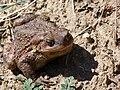 Common toad Lake Langadas area.jpg