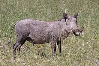 Common warthog - Female P. a. sundevallii Etosha National Park, Namibia