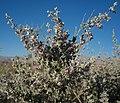 Condea emoryi desert lavender.jpg