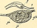 Contribution à l'etude des pupipares (1909) (20497726468).jpg