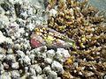 Conus Maldives.JPG