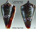 Conus antoniomonteiroi 1.jpg