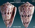 Conus araneosus 2.jpg