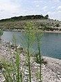 Conyza Canadensis, Canadian Fleabane - panoramio.jpg