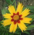 Coreopsis grandiflora heliot.jpg