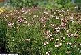 Coreopsis rosea Sweet Dreams 3zz.jpg