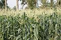 Corn7785.JPG