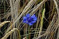 Cornflower - Flickr - Stiller Beobachter (2).jpg