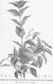 Cornus foemina HdB.png
