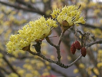 Cornus officinalis - Image: Cornus officinalis 4