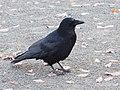 Corvus corone 104047091.jpg