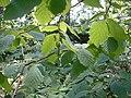 Corylus cornuta, Pancake Bay.jpg