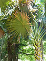Corypha umbraculifera-Jardin botanique de Kandy (1).jpg