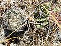 Coryphantha retusa (5739478415).jpg