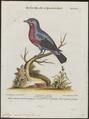 Cotinga caerulea - 1700-1880 - Print - Iconographia Zoologica - Special Collections University of Amsterdam - UBA01 IZ16600061.tif