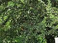 Cotoneaster divaricatus Kiev2.JPG