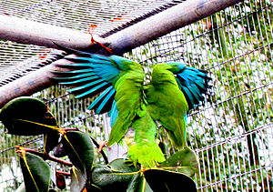 Puerto Rican amazon - The Puerto Rican amazon in flight, showing distinctive blue feathers