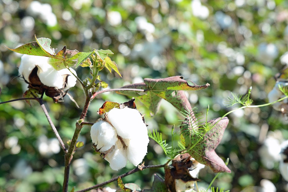 Cotton plant, Ware County, GA, US