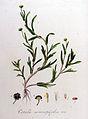 Cotula coronopifolia — Flora Batava — Volume v9.jpg