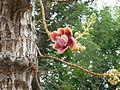 Couropita guianensis(Nagalingam tree).JPG