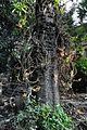 Couroupita guianensis - Murshidabad 2014-11-11 8913.JPG