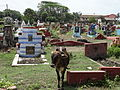 Cow in Cemetery, Trincomalee.jpg