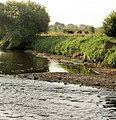 Cows grazing on River Dearne bank. - geograph.org.uk - 521765.jpg