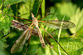 Crane fly and wings.jpg