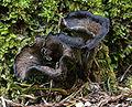Craterellus cornucopiodes 12457.jpg