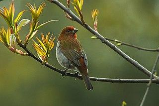 Crimson-browed finch species of bird