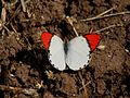 Crimson Tip Colotis danae UP Bhusawal Maharashtra IMG 6903 (1).JPG