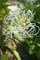 Crinum asiaticum1YUNPHOTO.jpg