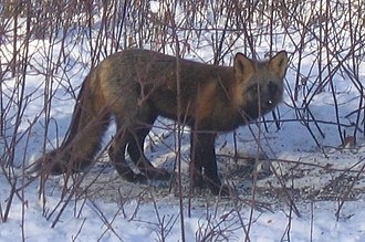 Ester, Alaska - A cross fox in Ester, Alaska. Other foxes spotted in Ester include black and red foxes.