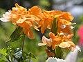 Crossandra infundibuliformis クロサンドラ 7240176.JPG