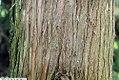 Cryptomeria japonica Cristata 5zz.jpg