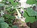 Cucurbita moschata (zapallo espontáneo) flor fruto F05 dia04 cicatriz botón inserción ovario en pedúnculo pecíolo hoja con ondulaciones transversales.JPG