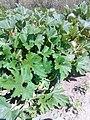 Cucurbitales - Cucurbita pepo - 3.jpg