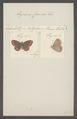 Cupido - Print - Iconographia Zoologica - Special Collections University of Amsterdam - UBAINV0274 050 05 0002.tif