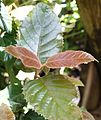 Curtisia dentata - Assegai tree - foliage detail 5.jpg
