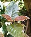 Curtisia dentata - Assegai tree - foliage detail 5.jpg