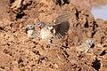 Cut-throat finch, Amadina fasciata at Mapungubwe National Park, Limpopo, South Africa (album includes copulating pair) (17678999268).jpg